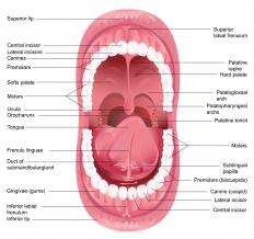 The pharynx starts at the uvula.
