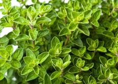 Essential oil is extracted from fresh oregano leaves.