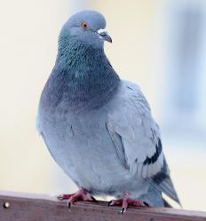 If obtained from a domestic breeder, a fancy pigeon should be free from disease.