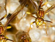 Hornets are any variety of large social wasps.