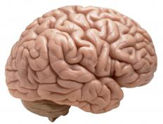 Within the prefrontal cortex, nerve fibers containing dopamine are integral to the processes determining working memory.
