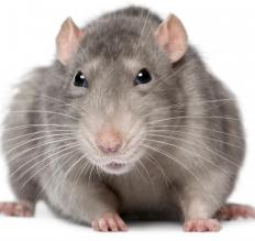 Rats were carriers of the Black Death, generally thought to have been Bubonic Plague, which was a disease that devastated Europe in the 14th century.