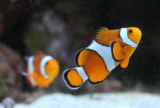 The clownfish is a sequential hermaphrodite.