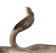 Spitting cobras are found mostly in tropical or subtropical regions.