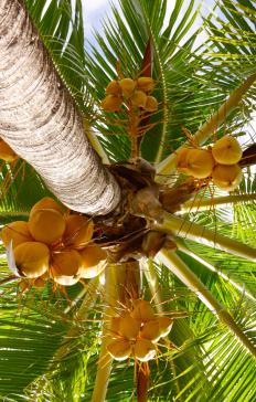 Young coconuts are harvested before they are fully mature.