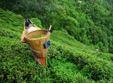 Tea plucking is the harvesting of tea leaves.