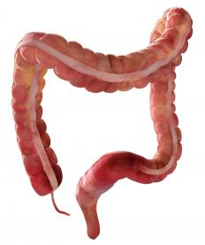 The colon and rectum.
