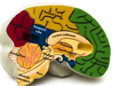 Sensory areas can be found in the occipital and parietal lobes of the brain.