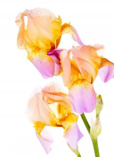 African irises are white, lavendar, and yellow.