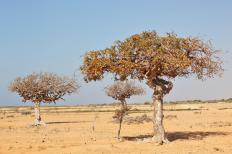 The Commiphora genus of trees includes the Commiphora myrrha.