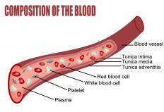 A diagram showing the composition of a blood vessel. The endothelial cells line the inside of the vessels.