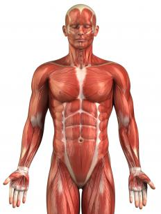 Muscles throughout the body are connected to the skeletal system through tendons.