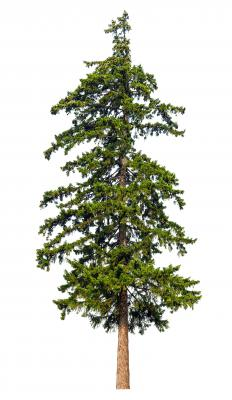 Pine trees are relatively low maintenance to care for.