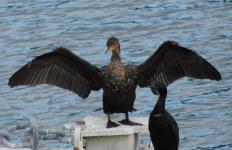 Cormorants are waterbirds that have dark, glossy plumage.