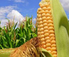 Corn is often stored in a silo.