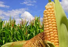Much of the corn grown in the United States goes toward making high fructose corn syrup.