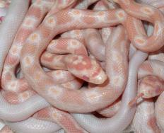 Common types of albino snakes include corn snakes.
