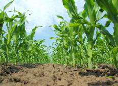 Agronomists often work with field crops, such as corn.