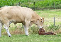 Until recently, the standard production of veal involved removing a newborn calf from its mother within 24-48 hours.