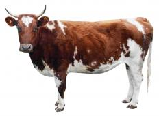 A literal cow, the inspiration for the term sacred cow.