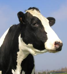 Ginger Rogers bred dairy cows in Oregon.
