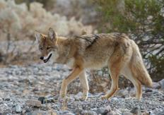Coyotes eat corn snakes.