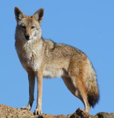 Coyotes are an endangered canine.