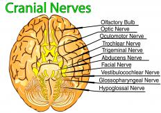 The trigeminal nerve is also called cranial nerve V.