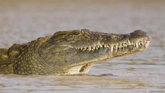 """SuperCroc"" was a nickname for an ancient crocodile."
