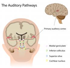 The medial geniculate nucleus is involved in auditory processing.