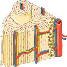 Cross-section of cortical bone; note the Haversian canals containing red and blue blood vessels.