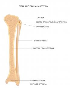 The tibial tuberosity is located near the top of the tibia, which is the larger of the lower leg bones (left), just below the kneecap.