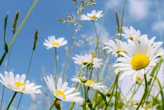 Perennial daisies should be chosen based on how much sunlight an individual garden receives.