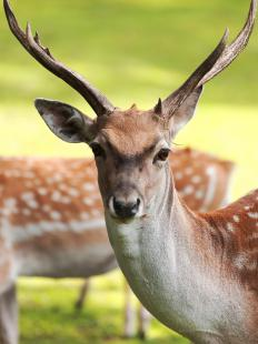 Deer are one type of animal that used to be in the Doggerland.