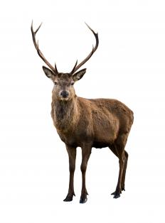 Deer antlers have been used to make chandeliers.