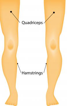 The quadriceps and hamstrings are the primary leg muscles used during a deadlift.