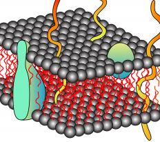 Membrane proteins facilitate transport into and out of the cell.
