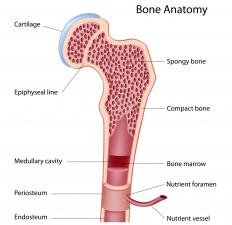 A diagram of the anatomy of a bone, showing the bone marrow.