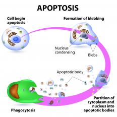 The programmed death of a cell is called apoptosis, an event usually caused by internal damage or by signals from surrounding tissues.