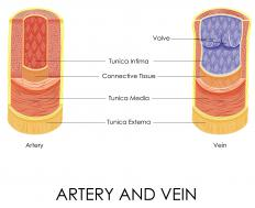 When a person stands up quickly, both arteries and veins have to contract in order to maintain normal blood pressure.