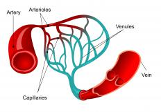 Capillaries connect the arterioles and the venules. There are three different types of cappilaries.