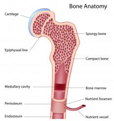 A diagram of the anatomy of a bone, showing the epiphyseal cartilage.