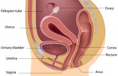 The uterus normally lies between the rectum and bladder.