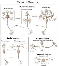 Types of neurons, including biopolar neurons.