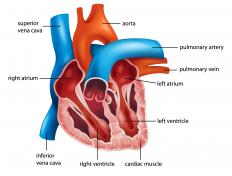 The vena cava brings blood to the heart from the lower body.
