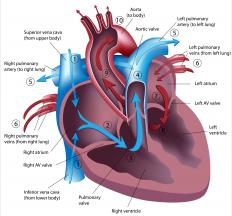 In a normal heart, the aorta is not connected to the right ventricle.