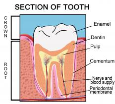 The parts of a tooth, including the third molar.