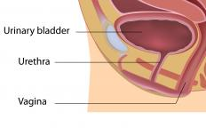 The internal and external urethral sphincters are muscles that help control the flow of urine from the body.