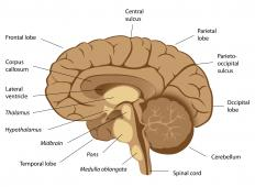 The arbor vitae, located in the cerebellum, has a branching appearance.