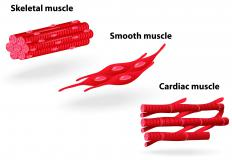 Skeletal muscles are voluntary muscles, while cardiac and smooth muscles are not.